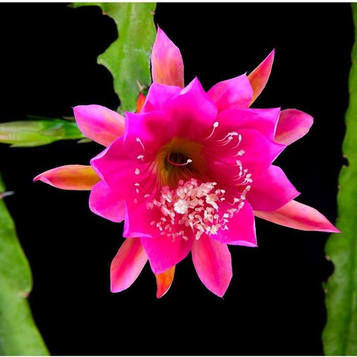 孔雀仙人掌莖葉 Epiphyllum Gitti Paetz 總長30公分以上 [飛訊庭園]