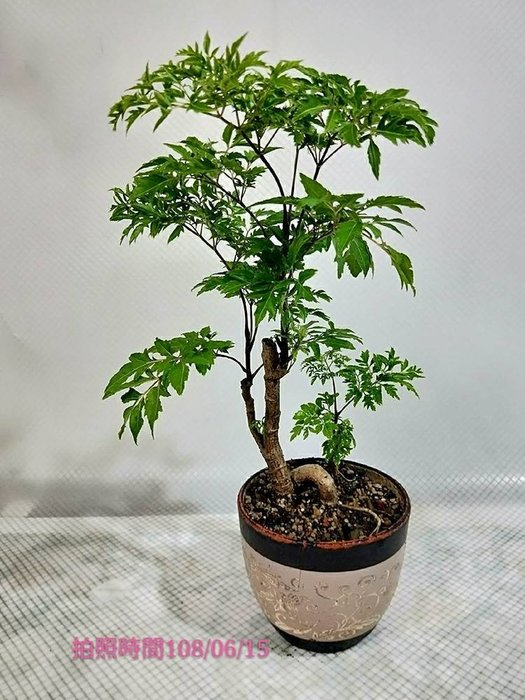 易園園藝- 羽葉福祿桐樹F24(福貴樹/風水樹)室內盆栽小品/盆景高約45公分