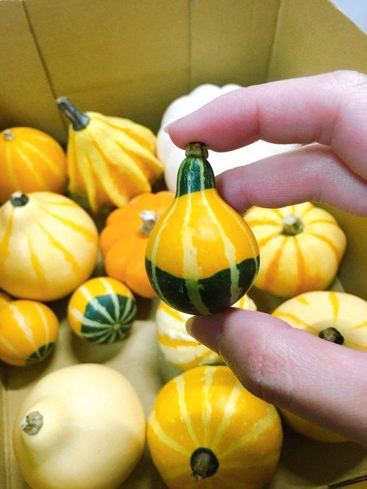 【小鮮肉肉】玩具南瓜種子5粒裝(混色) 可食用 庭院陽台易種