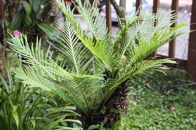 美人蕨/富貴蕨/8吋/綠化植物/室內植物/觀葉植物/蕨類1入