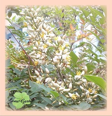~長榮~~【南天竹】8吋 日式庭園樹 風水樹 天竹 灌木 天竺子