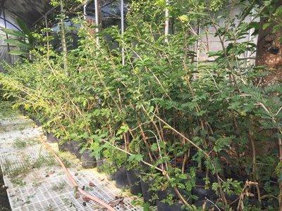 《榮恩園藝》神聖癒創木Guaiacum sanctum ,高度80-100公分,頭部1-2公分,5吋黑軟盆裝