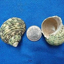 【鑫寶貝】貝殼DIY 蠑螺(原)  口徑2.2~2.5cm寄居蟹的家 水族造景、盆栽造景開店擺設、鏤空桌面擺設 單顆30元