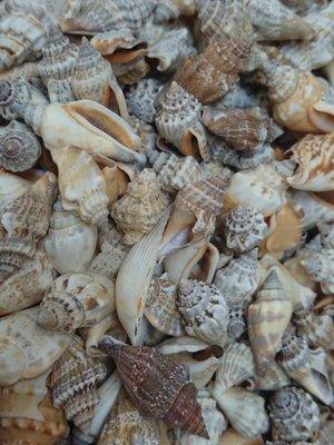 【鑫寶貝】貝殼DIY  貝殼材料 09.綜合鳯凰螺  10顆(一包20元)  材料貝  任買十包送一包