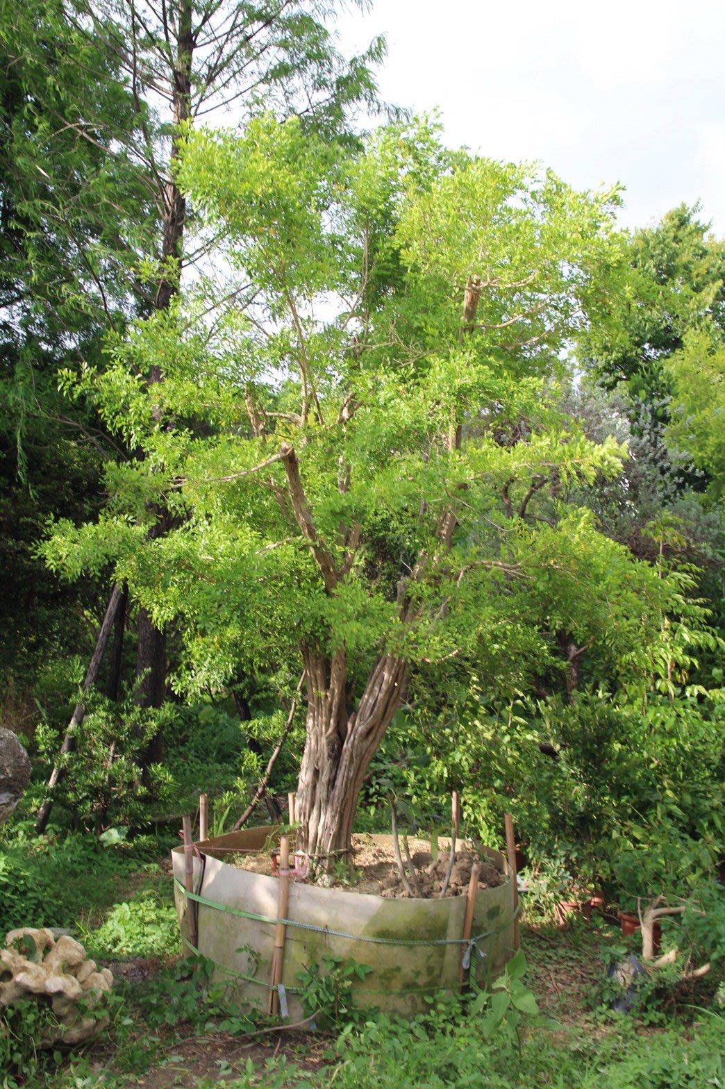 景觀樹(七里香)