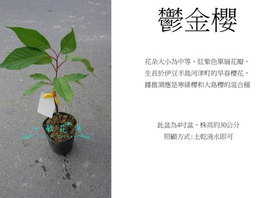 心栽花坊-鬱金櫻/4吋/櫻花/櫻花品種/觀花植物/綠籬植物/售價160特價140
