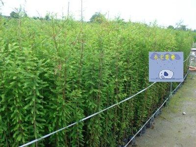 【長宏園藝】落羽松苗 (多種尺規) 工程用苗木、各式成樹、苗木批發 歡迎詢問
