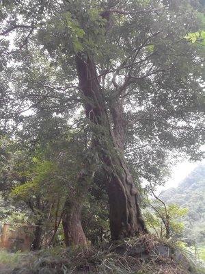 錦山苗圃巨型茄苳樹,重楊木