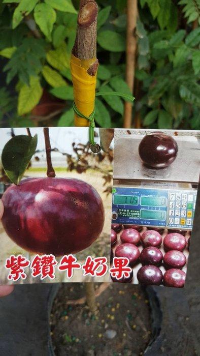 ╭*田尾玫瑰園*╯新品種水果苗-(紫鑽牛奶果)50cm600元