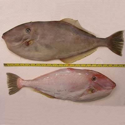 【澎湖剝皮魚-約2斤/組】新鮮魚貨乾淨處理產地直送(秤重計價)-2501003