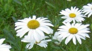 花花世界_季節花卉--白瑪格 ( 白瑪格麗特 )--超會開花/5吋盆/ 高20-30公分/TS