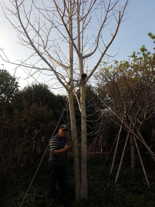 (青山園藝) 銀杏 頭俓約25~30cm高度約6米 黑松真柏油杉肖楠青楓七里香桂花