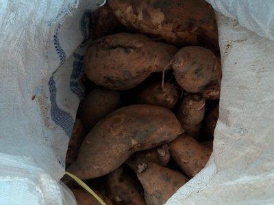 水林新鮮台農57號黃肉地瓜大條有裂6斤100元
