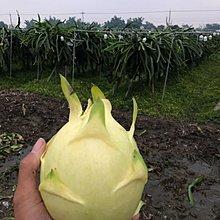 黃龍果(泰國黃)支條出售 新品種 五支下標區