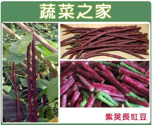 【蔬菜之家】E15.紫莢長豇豆種子30顆(豆莢呈紫色,莢長約50公分.早生.結莢多.品質柔嫩.蔬菜種子)