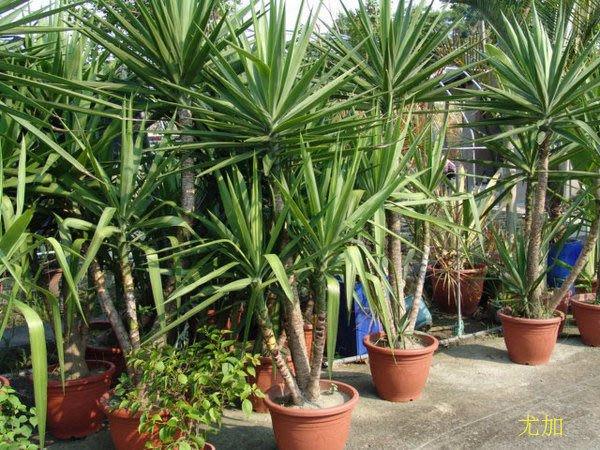 ╭*田尾玫瑰園*╯優質觀葉植物-(青葉尤加)-可室內擺設.極為美觀