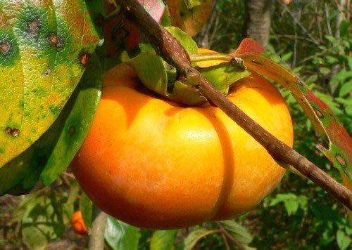 ╭*田尾玫瑰園*╯水果苗(日本次郎甜柿)--果肉汁多甜美容易結果