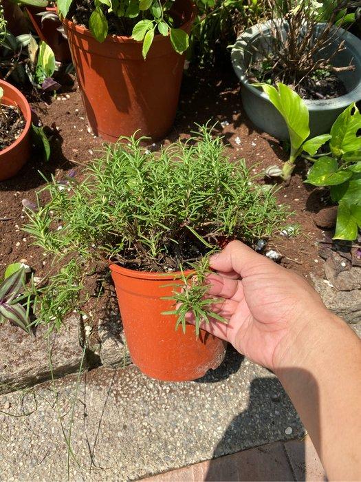 迷迭香5吋盆 香草植物