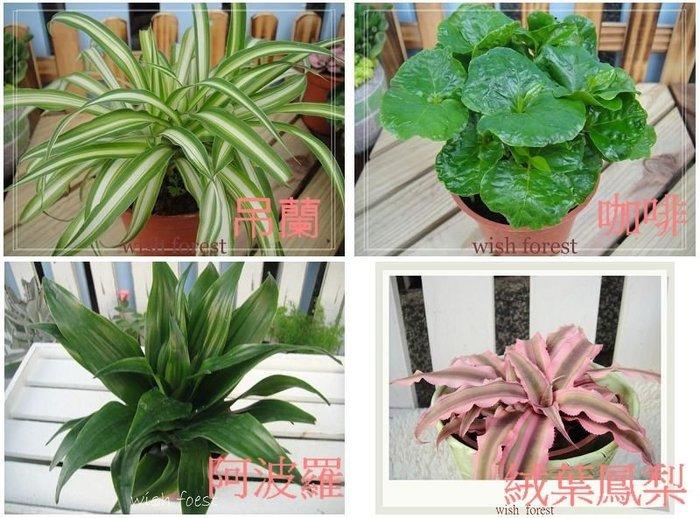 WISH  FOREST【觀葉植物。隨機出貨3盆100】。都市小陽台。辦公室療癒。綠色植物