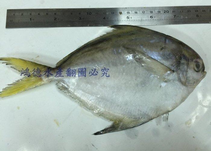 野生金鯧魚每尾只要69元☆鴻德水產☆滿額免運
