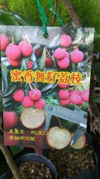 水果苗 ** 蜜香無籽荔枝 ** 4吋盆/高約50-60cm 優良荔枝品種【花花世界玫瑰園】OvO