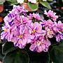 堤緣花語陶- 淨化室內空氣植物- 非洲紫羅蘭 R...