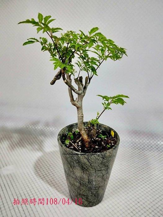 易園園藝- 羽葉福祿桐樹F18(福貴樹/風水樹)室內盆栽小品/盆景高約30公分