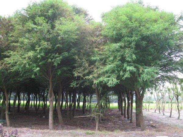 (青山園藝).墨西哥.水杉.米俓20cm.高度5~8米.落羽松肖楠流蘇黑松桂花含笑真柏