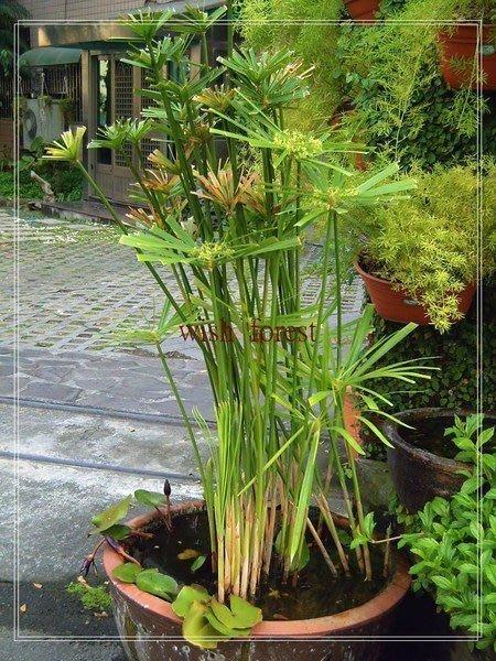 WISH FOREST【水生植物】【輪傘莎草】1株30元.....線形修長優美,適庭院造景