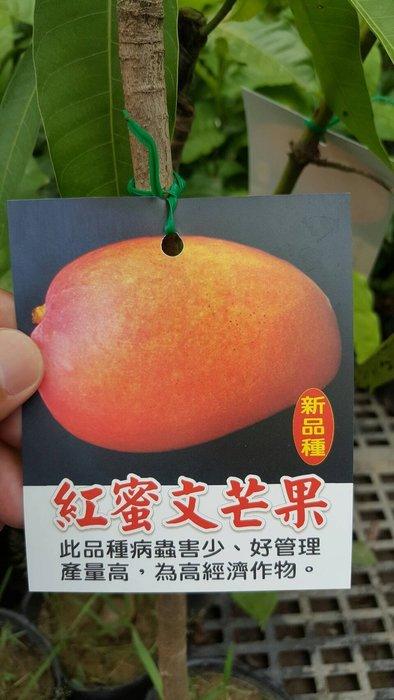 ╭*田尾玫瑰園*╯新品種水果苗-(紅蜜文芒果)高70cm300元
