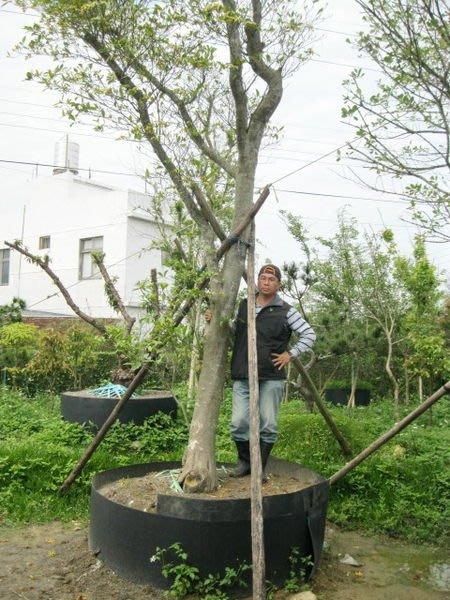 (青山園藝) 梔子花  頭俓ㄧ尺  高度約6米  黑松真柏紫檀含笑象牙木羅漢松桂花油杉