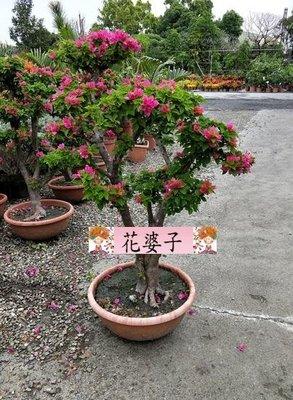 八房九重葛/日本九重葛/造型樹/盆景/開花植物/1尺2吋/80~100公分