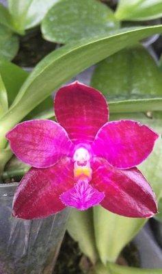 原生種蝴蝶蘭實生苗:P.lueddemanniana x sib