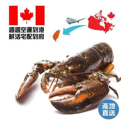 【熊鮮生】活體波士頓龍蝦 (400g-500g±10%/隻) 1隻組