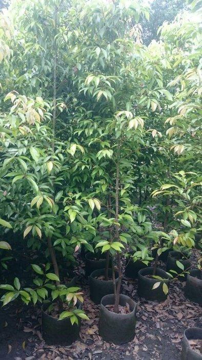 ╭ *田尾玫瑰園*╯庭園用樹-(土肉桂)高2米(不可食用).觀賞用