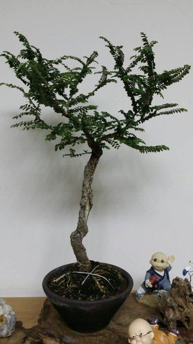 台中瘋小品-小品盆栽-日本荒皮榆樹-2-特價