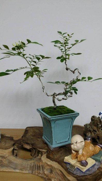 台中瘋小品-小品盆栽-小葉七里香-3-特價