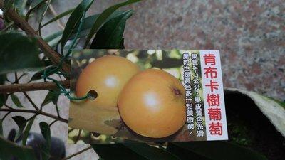 ╭☆東霖園藝☆╮超優質樹種( 肯布卡樹葡萄) 嘉寶果--嫁接苗