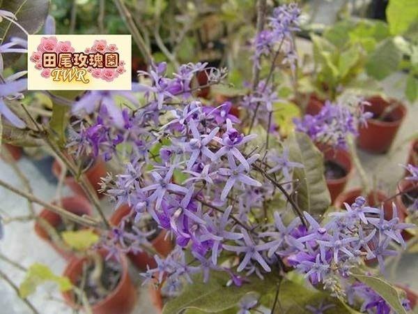 ╭*田尾玫瑰園*╯蔓性灌木-錫葉藤(許願藤)-高80cm300元/盆(圖三)