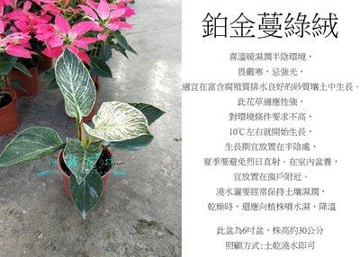 心栽花坊-鉑金蔓綠絨/5吋盆/綠化植物/室內植物/觀葉植物/售價360特價300