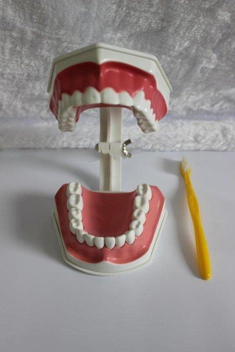【奇滿來】兩倍放大(全口固定) 牙齒模型 口腔清潔保健護理牙齒模型 幼稚園學齡寶寶兒童刷牙教學練習 醫學教學教具ARFQ