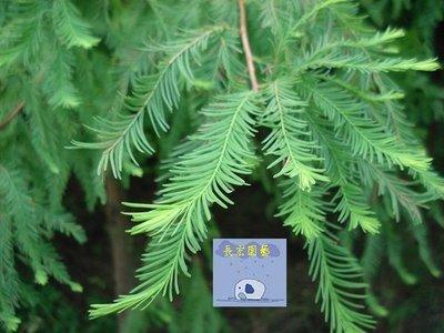 """【長宏園藝】""""落羽松"""" (多種尺寸規格) 各式成樹、苗木批發 歡迎詢問"""