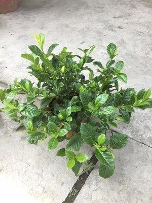 花苗.灌木~玉堂春.梔子花~5吋/不含盆高25公分以上~強香~花精靈植物的家