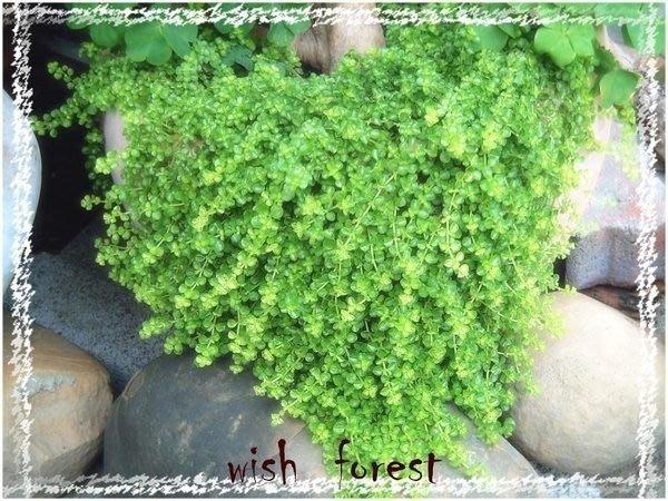 WISH  FOREST【3吋小品】。嬰兒淚。綠色垂落的眼淚多惹人憐愛/一盆40