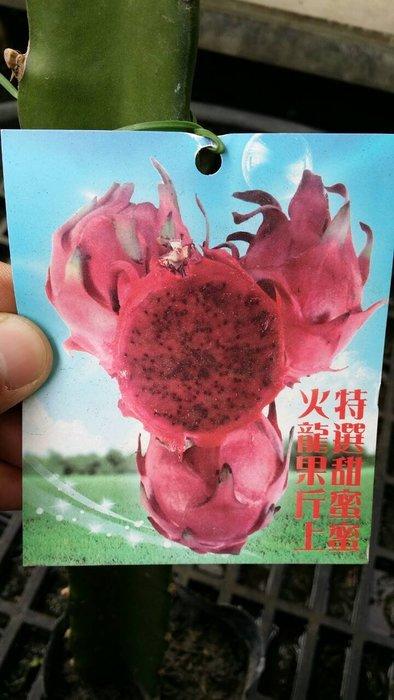 ╭*田尾玫瑰園*╯新品種水果苗-(甜蜜蜜火龍果)