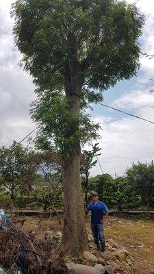 青山園藝  巨大光臘樹 米俓2尺多 高度約8~10米米  黑松桂花流蘇羅漢松