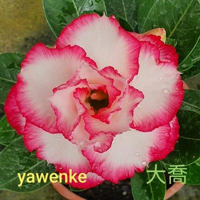 欣采園藝   沙漠玫瑰   富貴花  耐旱植物   重瓣品種~~大喬