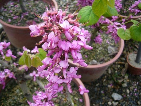 ╭*田尾玫瑰園*╯新品種庭園用樹-(美國紫荊.紅粉佳人)5吋盆