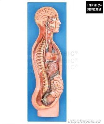 INPHIC-交感神經系統模型人體交感神經系統模型醫學模型醫療實驗道具人體自主神經系統模型_znW3