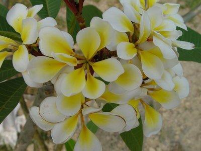 法森雞蛋花專業育種中心 特殊品種:Bali Whirl (迴旋峇里) 販售枝條